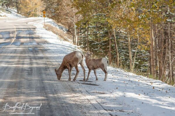 bighorn sheep on the side of mount norquay road