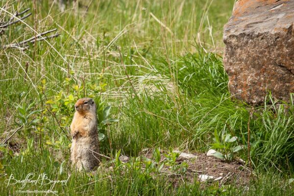 columbian-ground-squirrel-small-rodent-banff-national-park-wild-life