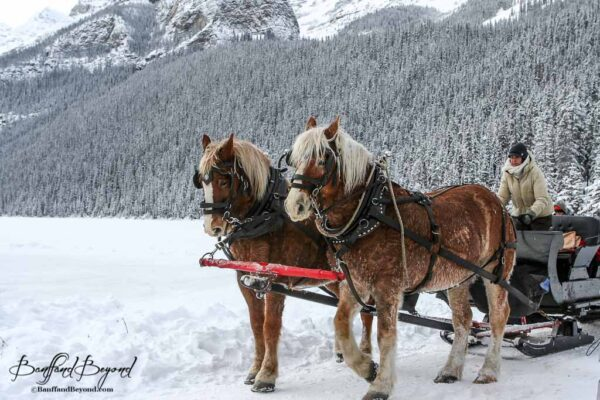 horse-drawn-sleigh-ride-lake-louise-winter-tourist-activity-snow-mountains-banff-national-park