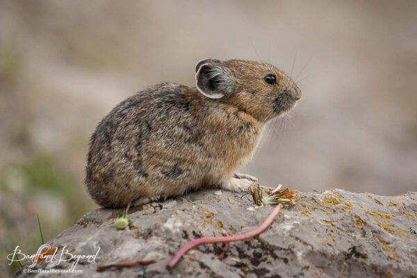 pika sitting on a rock in jasper national park