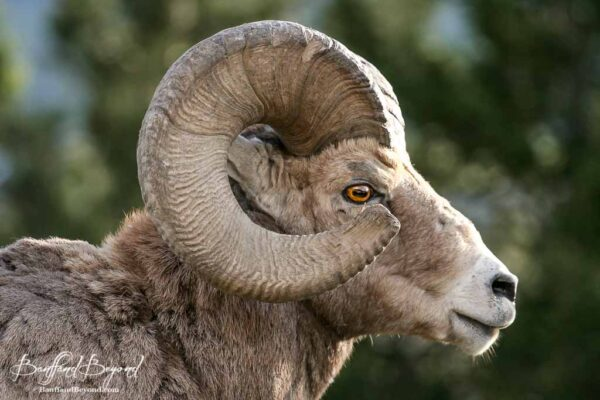 bighorn sheep ram in the spring time