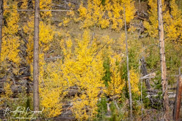 warm golden colours of the larch trees in banff