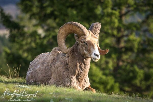 bighorn sheep laying down in the grass