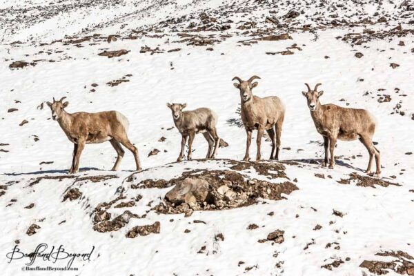 bighorn sheep in winter banff national park