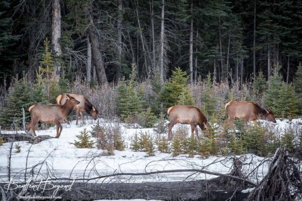 herd of elk along the bow river in canmore