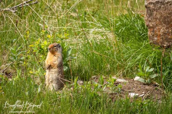 golden mantled ground squirrel in banff