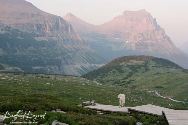 mountain goat on hidden lake trail glacier national park montana