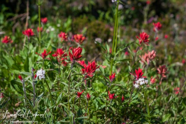 red-wildflowers-mount-revelstoke-meadows-in-the-sky-parkway