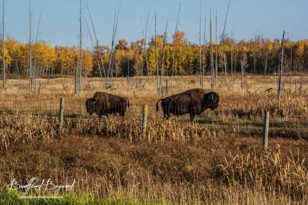 Plan Your Visit To Elk Island National Park | BanffandBeyond